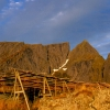 norway_lofoten_cod