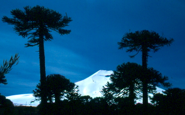 An ancient Arocaria forest graces the slopes of Volcan Lonquimay