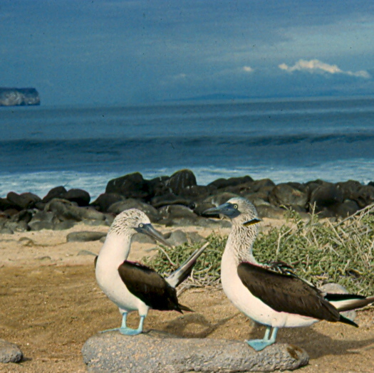 Blue Footed Boobies in Galapagos, Equador,