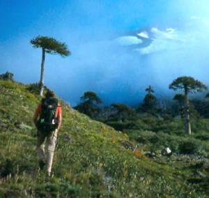 Hiking through the ancient Arocaria forest on Volcan Callaqui near the Bio Bio River in Chile